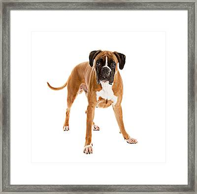 Fawn-colored Boxer Framed Print