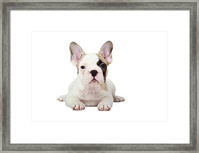 Fawn Pied French Bulldog Puppy Framed Print by Mlorenzphotography