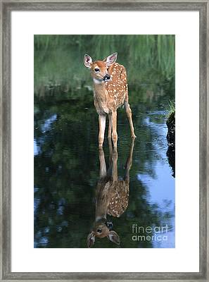Fawn Reflection Framed Print by Sandra Bronstein