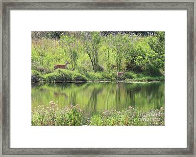 Fawn Spotted Across The Pond Framed Print by Carol Groenen