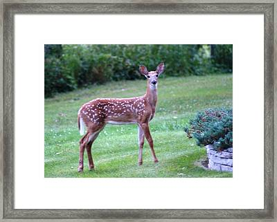 Fawn Standing Framed Print by Geralyn Palmer