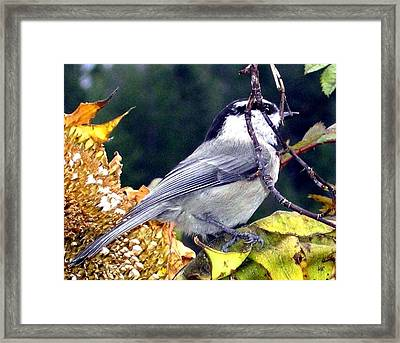 Feast For A Chickadee Framed Print by Will Borden