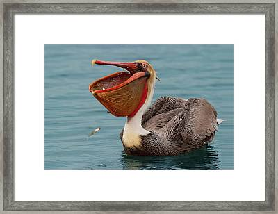 Framed Print featuring the photograph Feasting Brown Pelican  by Ram Vasudev