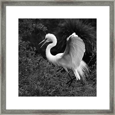 Feather 8-8 Bnw Framed Print by Skip Willits