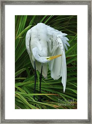 Feather Preening Framed Print