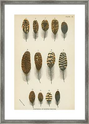 Feathers Of Scotch Grouse Framed Print
