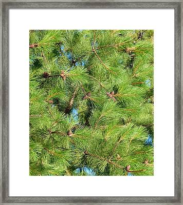 Feathery Pine Needles Framed Print
