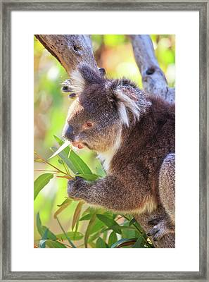 Framed Print featuring the photograph Feed Me, Yanchep National Park by Dave Catley