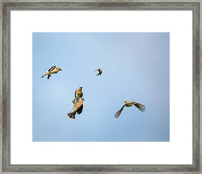Feeding Frenzy Framed Print by Bill Wakeley