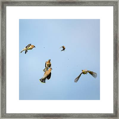 Feeding Frenzy Square Framed Print by Bill Wakeley
