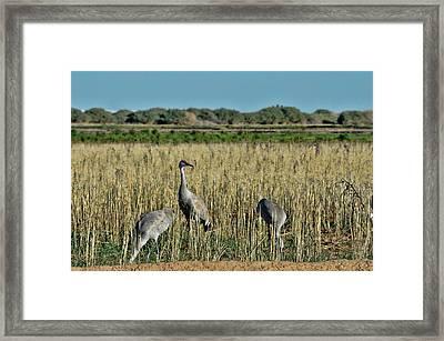 Feeding Greater Sandhill Cranes Framed Print by Daniel Hebard