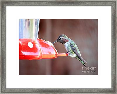 Feeding Hummingbird Framed Print by Carol Groenen