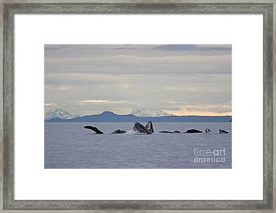 Feeding Humpbacks Number One Framed Print by Tim Grams