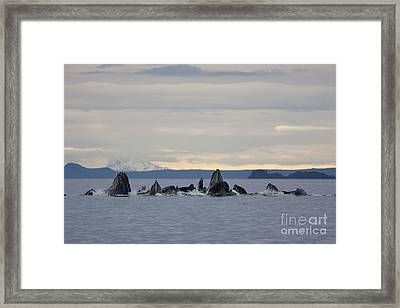 Feeding Humpbacks Number Two Framed Print by Tim Grams