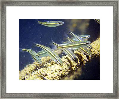 Feeding Minnows Framed Print by Ron Kruger