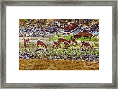 Feeding Mountain Sheep Framed Print