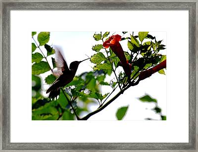 Feeding Off The Trumpet Framed Print by Peter  McIntosh