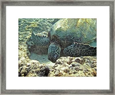 Feeding Sea Turtle Framed Print by Michael Peychich