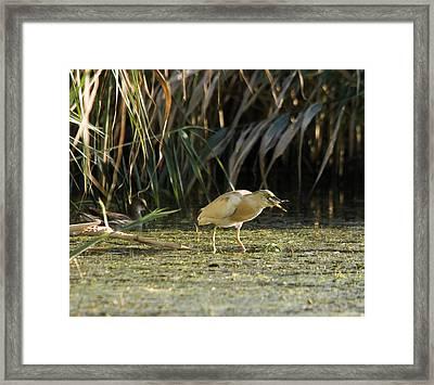 Feeding Squacco Heron Framed Print