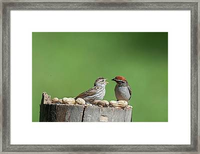 Feeding Time Doesn't Stop Even After Leave The Nest Framed Print by Dan Friend