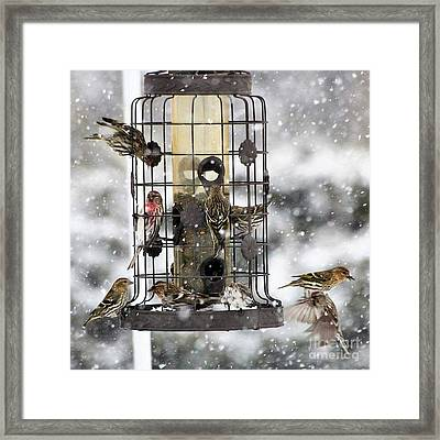 Feeding Time In The Great White North Framed Print