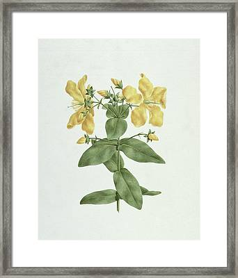 Feel-fetch - Hypericum Quartinianum Framed Print