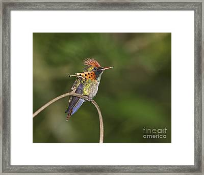Feisty Little Fellow..  Framed Print