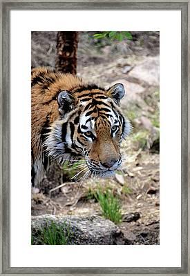 Feline Focus Framed Print by Angelina Vick