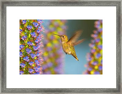 Female Anna's Hummingbird Huntington Beach California Framed Print by Ram Vasudev