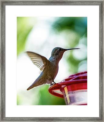 Framed Print featuring the photograph Female Anna's Hummingbird V24 by Mark Myhaver