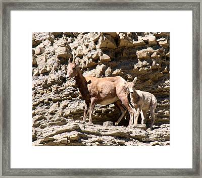 Female Bighorn Sheep With Juvenile Framed Print