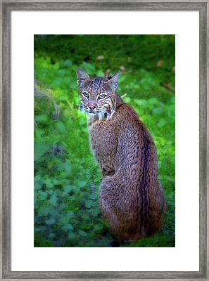 Female Bobcat Framed Print by Mark Andrew Thomas