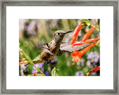 Female Broadtail Humingbird Framed Print