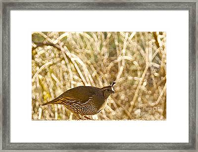 Female California Quail Framed Print