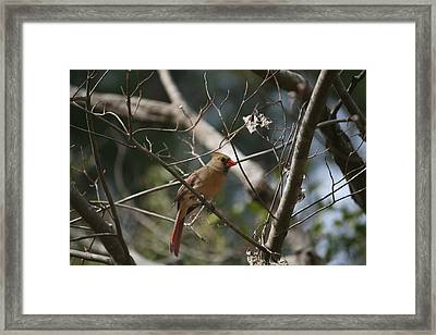 Female Cardinal 3 Framed Print by Cathy Harper