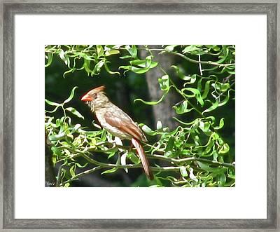 Female Cardinal Framed Print by Debra     Vatalaro