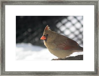Female Cardinal Framed Print