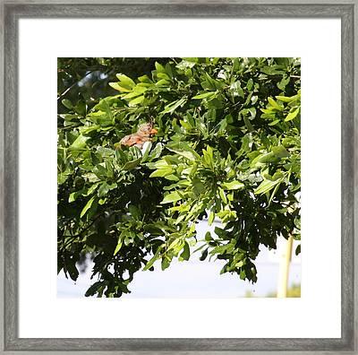 Female Cardinal In A Live Oak Framed Print by Jonathan Kotinek