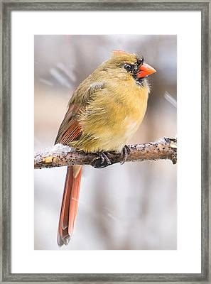 Female Cardinal In Winter Framed Print by Jim Hughes