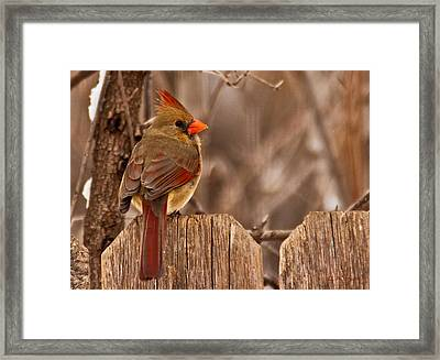 Female Cardinal On The Fence Framed Print by Edward Peterson