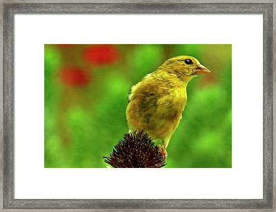 Female American Gold Finch Stops By For A Visit Framed Print
