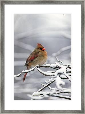 Female Cardnal In That Snow Framed Print