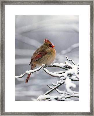 Female Cardnal In The Snow #2 Framed Print