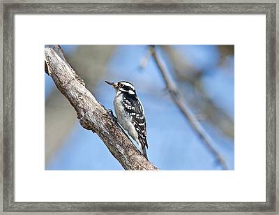 Framed Print featuring the photograph Female Downey Woodpecker 1104  by Michael Peychich