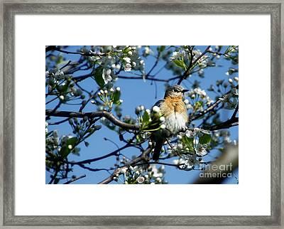 Female Eastern Bluebird Framed Print by David Simons
