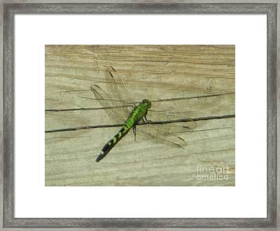 Female Eastern Pondhawk Dragonfly Framed Print