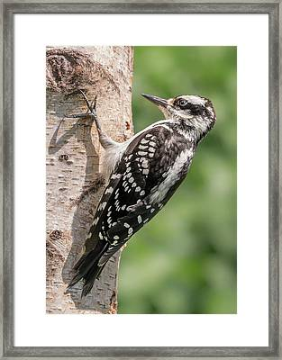 Framed Print featuring the photograph Female Hairy Woodpecker In Minnesota by Jim Hughes