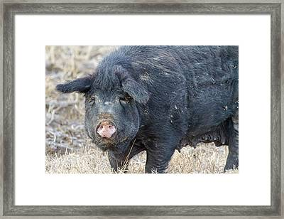 Framed Print featuring the photograph Female Hog by James BO Insogna