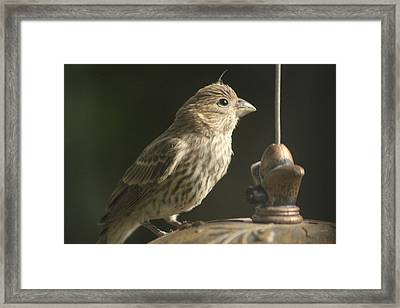 Female House Finch On Feeder Framed Print