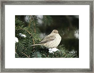 Female House Finch On Snow Framed Print